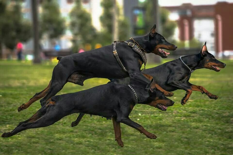 #Doberman #dog trio