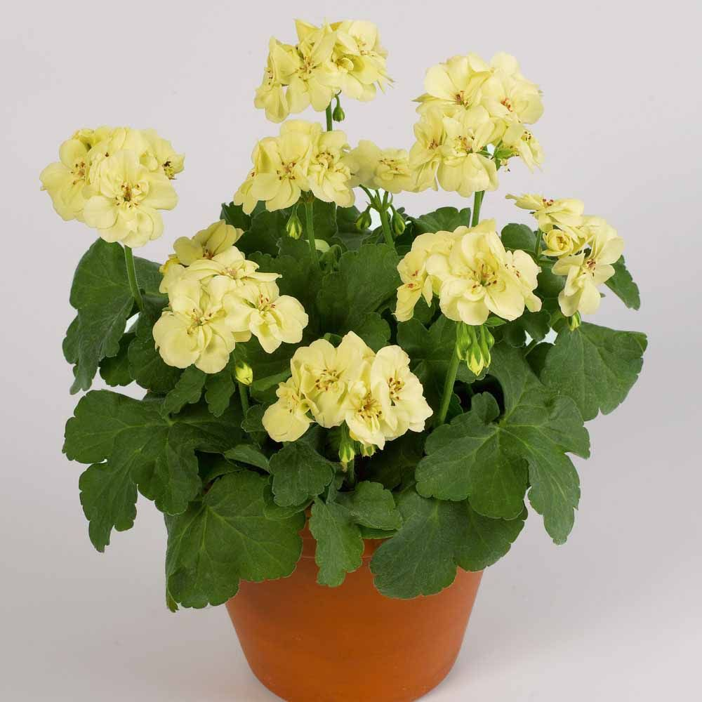 Geranium First Yellow Improved Double Flowering Geraniums The