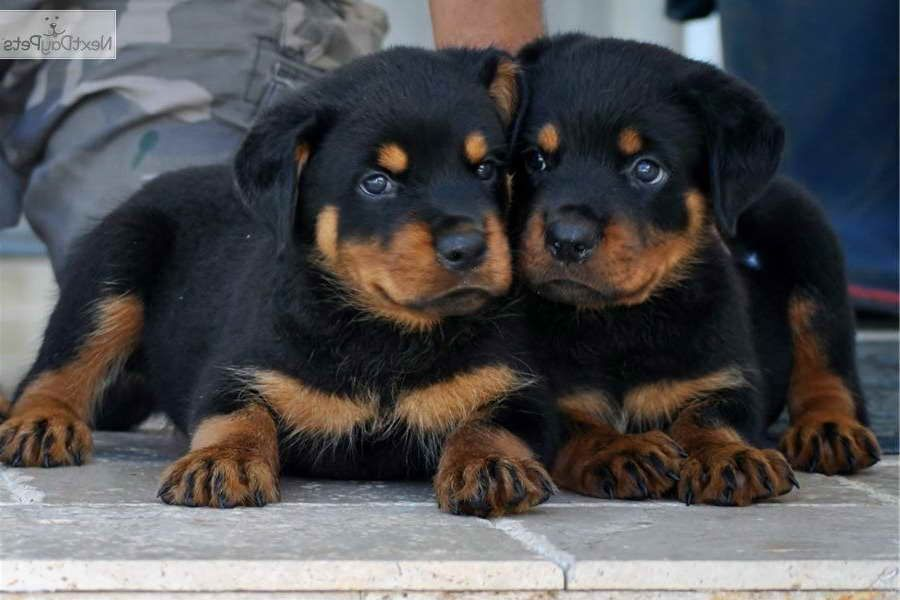 Adopt A Rottweiler Puppy For Free Rottweiler Puppies Puppies