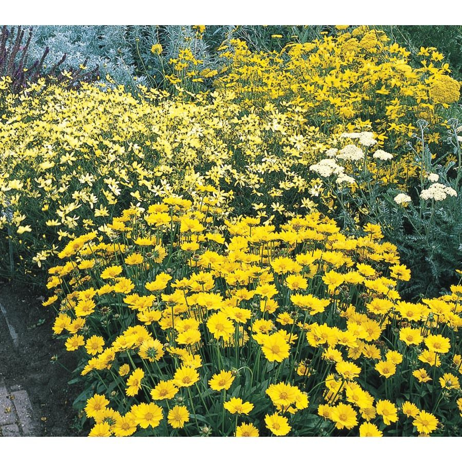 2.5-Quart CoreopsIs (L9636) Yellow flowers in front ...