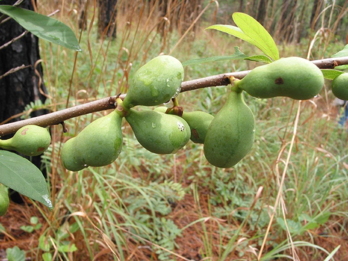 Smallflower Pawpaw Asimina Parviflora Plant Fruits