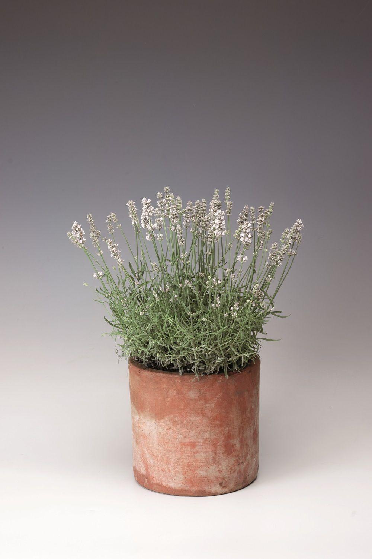 Lavender Aromatico Silver (Common Name – White English Lavender) 150mm Pot | Dawsons Garden World