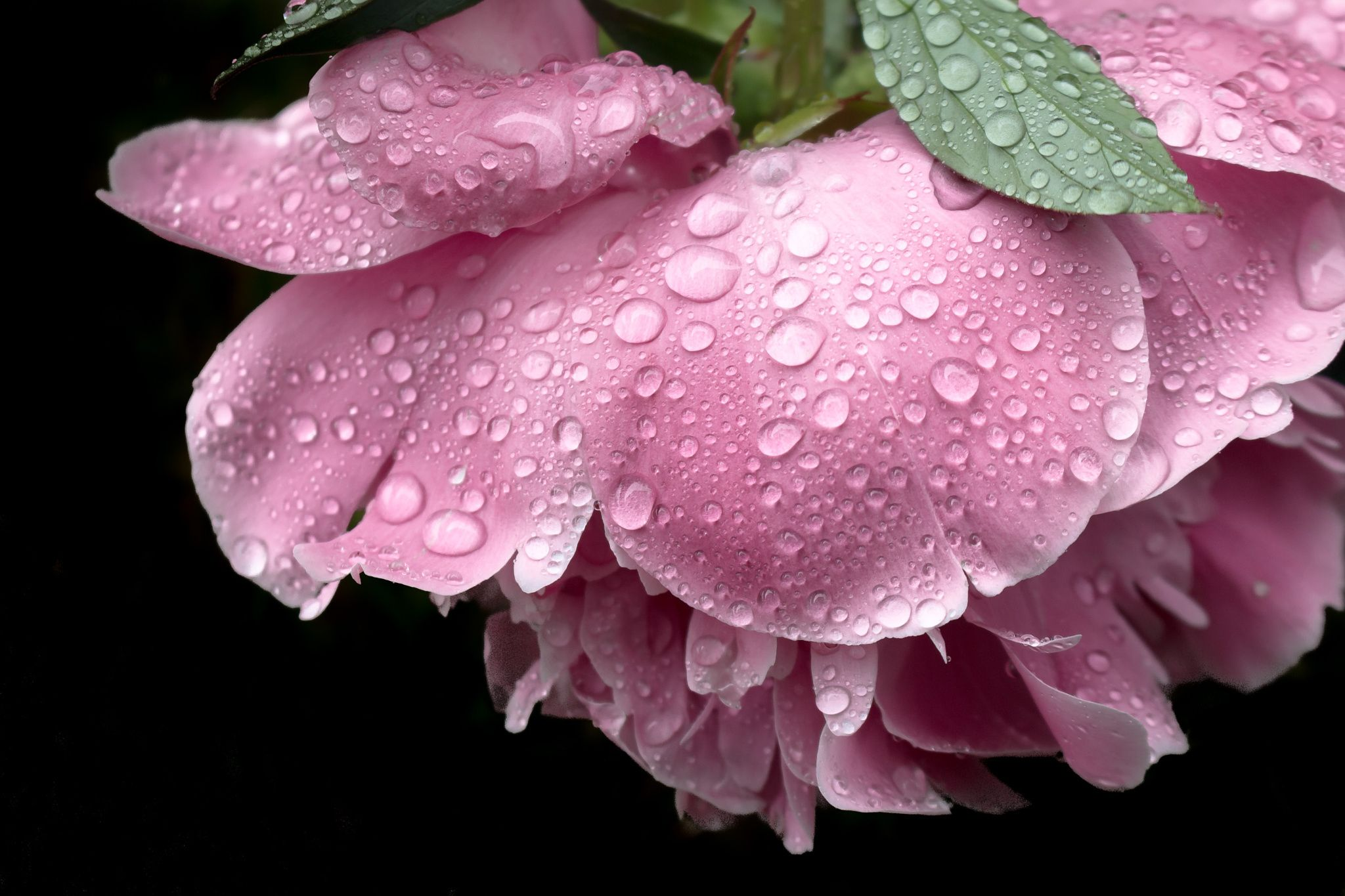 ruffled pink - pink peony heavy after the rain