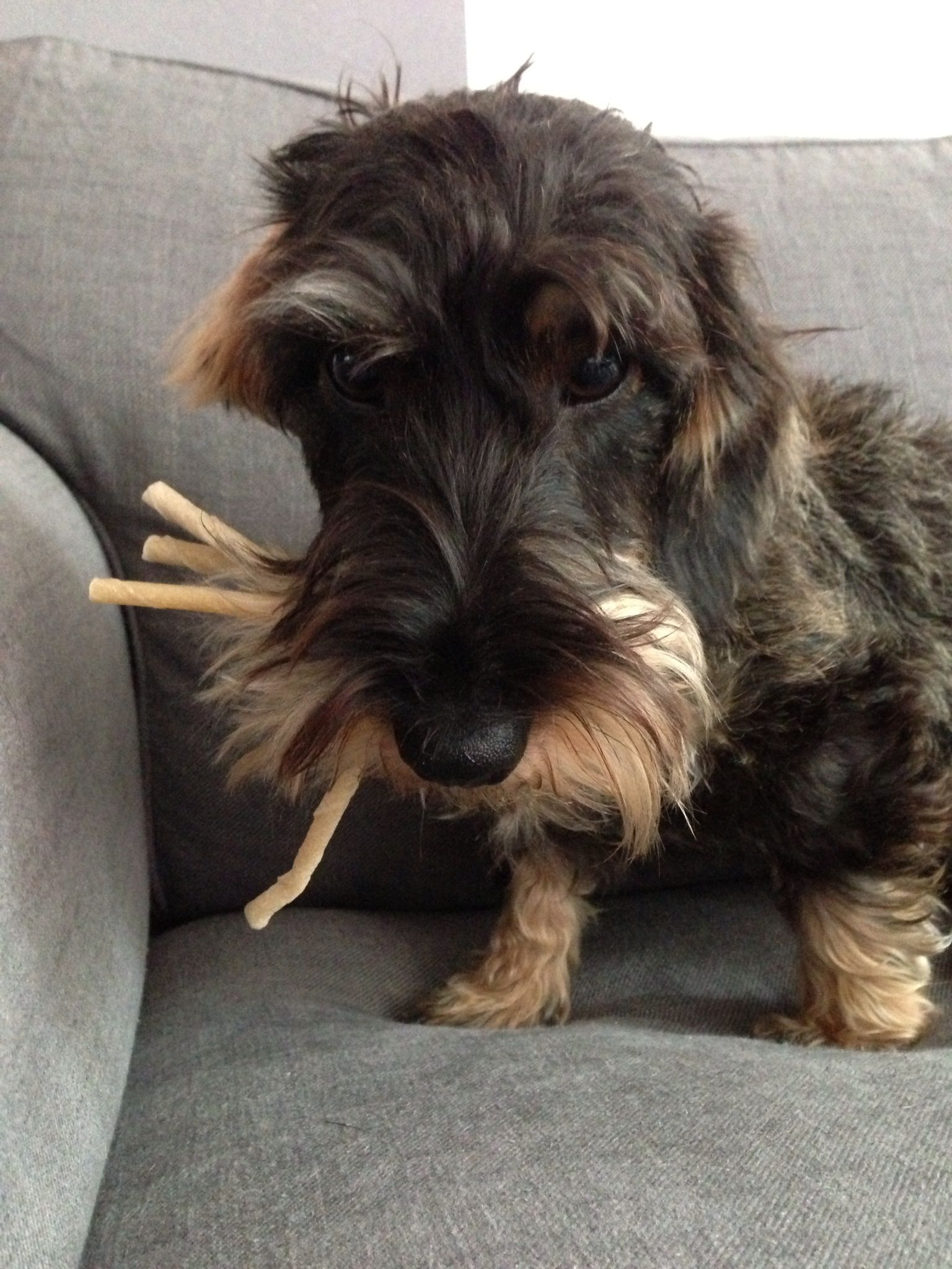 These Chewsticks Are All Mine Weiner Dog Wire Haired Dachshund Weenie Dogs