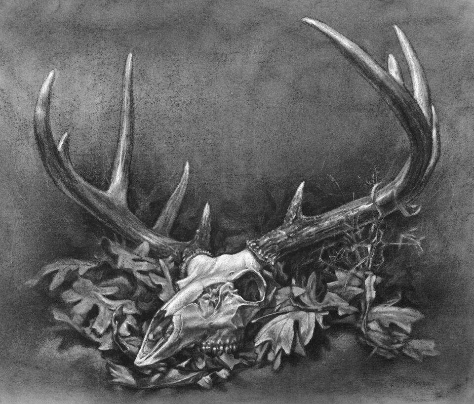 White Tail Deer Sckull Drawn: Charcoal Drawing Deer Skull Still Life Fine Art Colleen