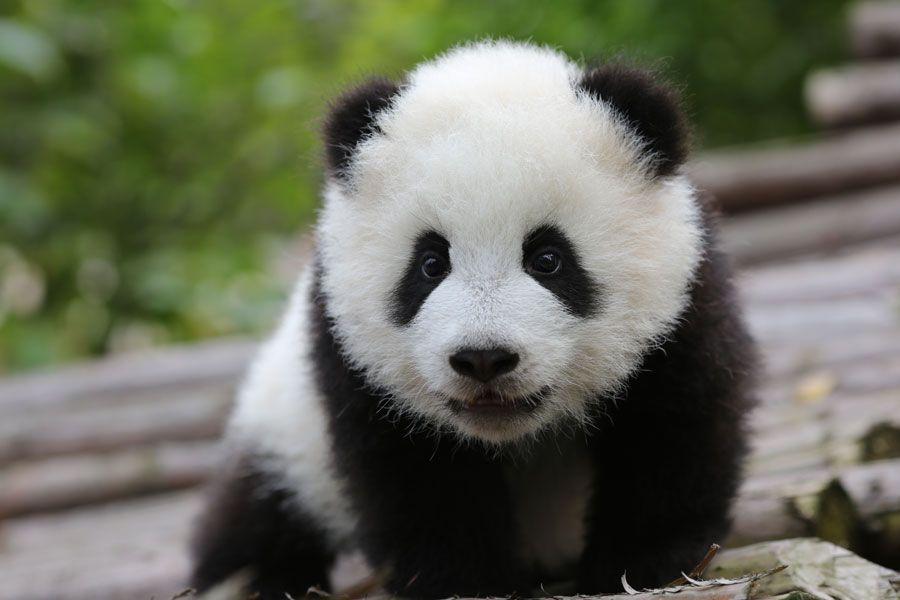 Cute Baby Panda Pics: Cute Baby Panda Bear Wallpaper Photo Cute Animal
