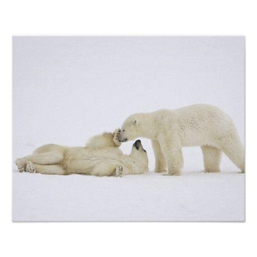 Polar Bears Playing Posters
