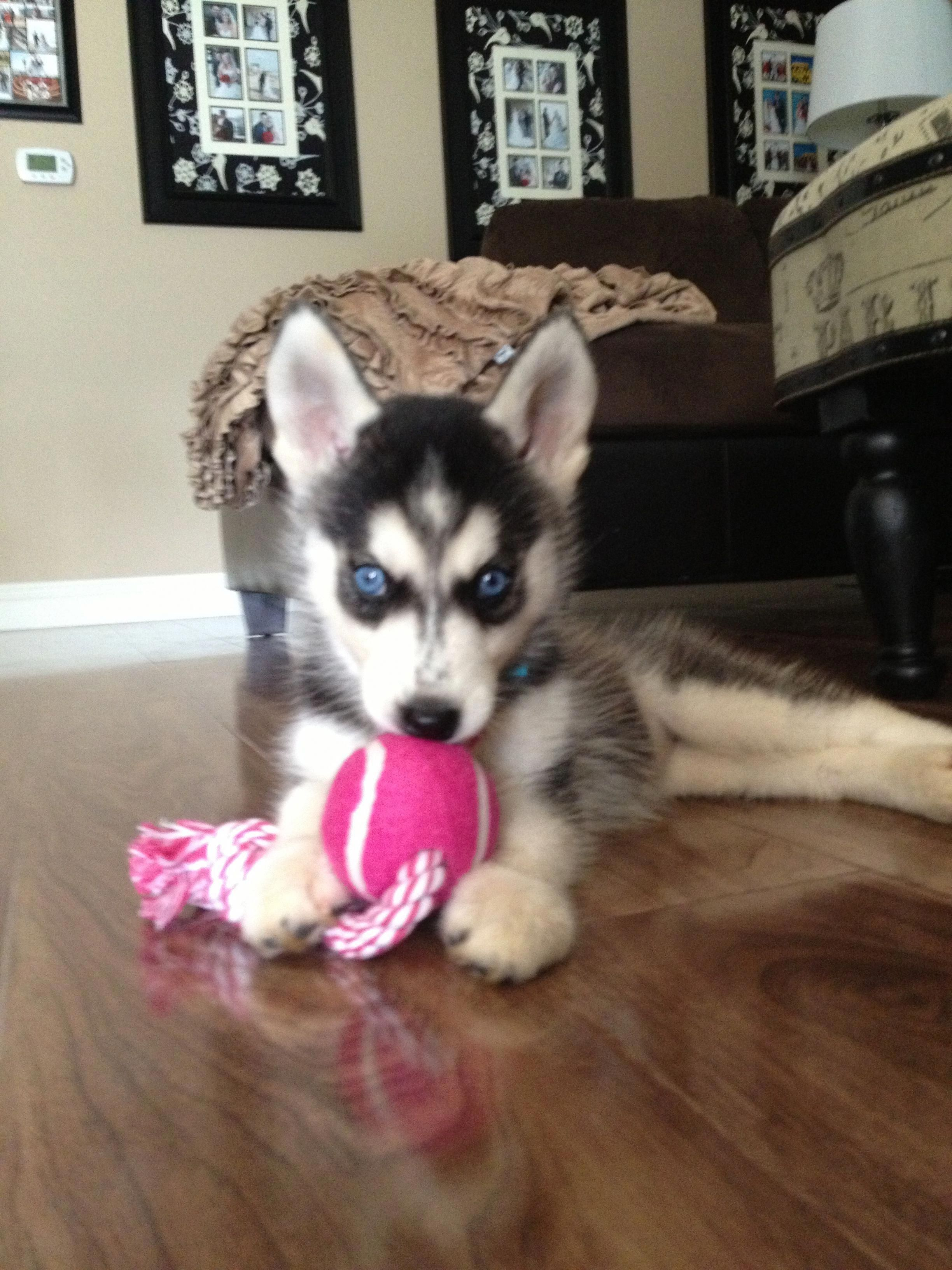 Everything About Agile Siberian Husky Puppy Temperament