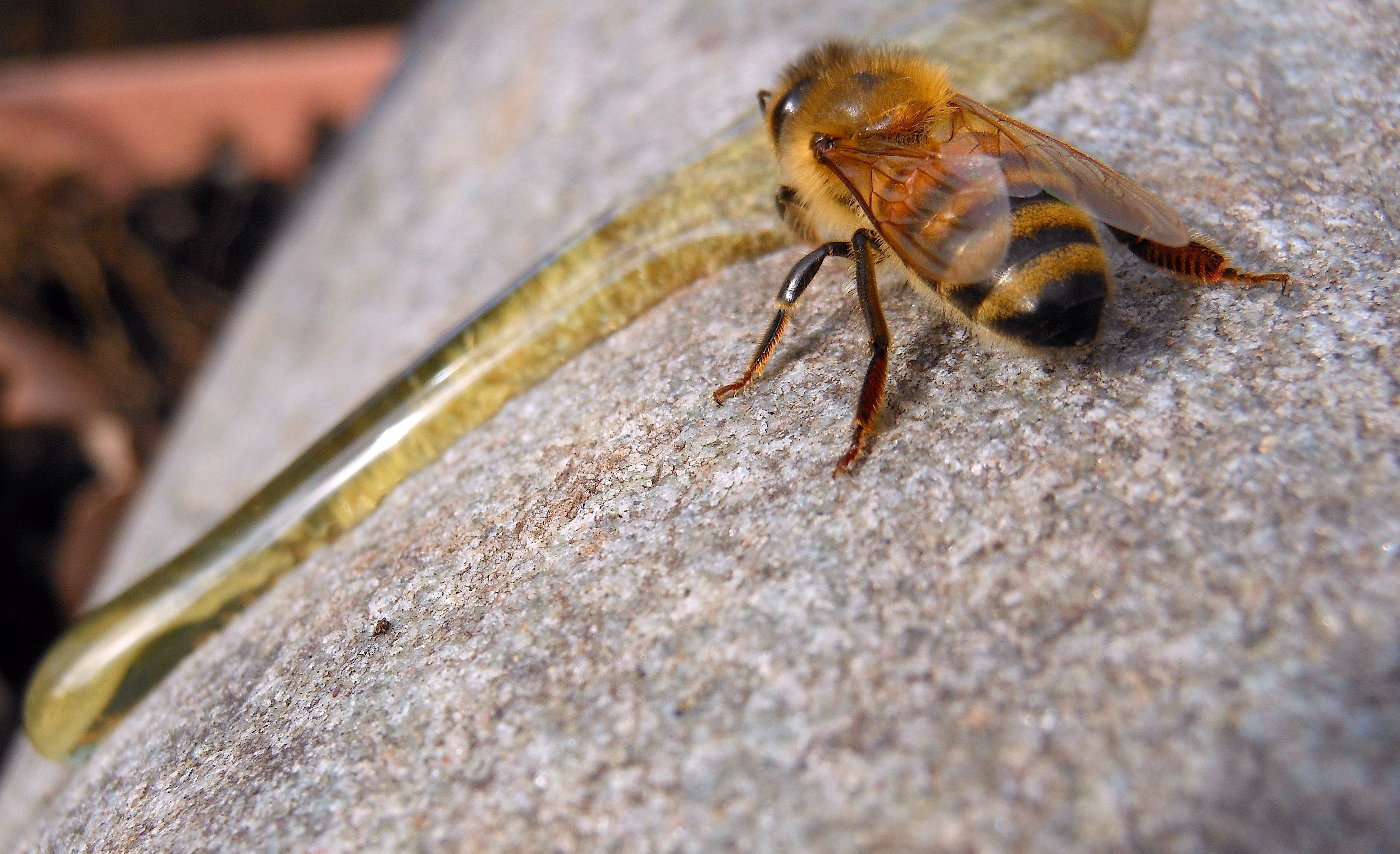 one of my bees, came out on new years day, she looked weak so i poured some honey on a rock and she drank for a few minutes and flew off...