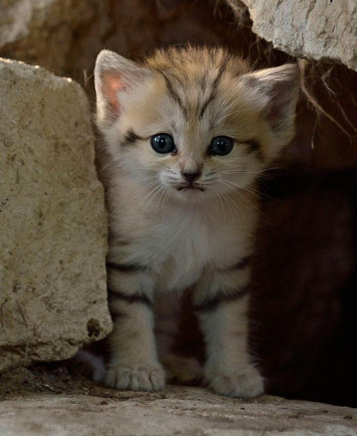 Sand Kitten- desert cat