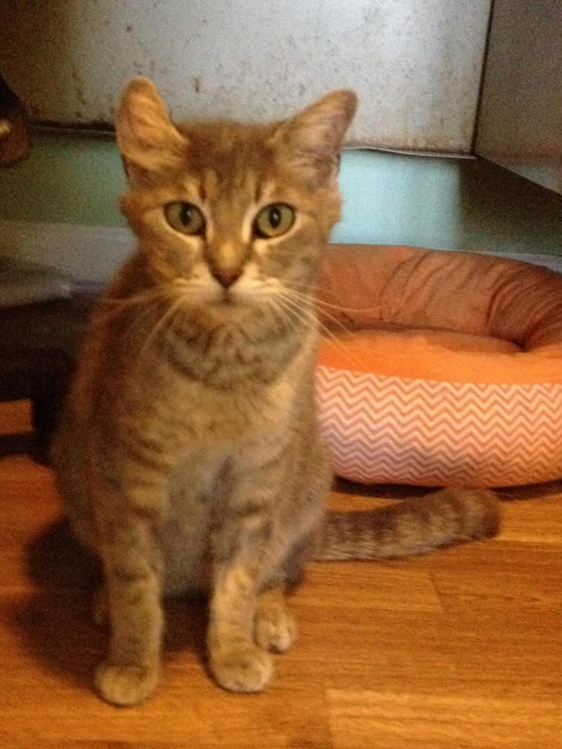 Meet Buttons and Bernice, a Petfinder adoptable American Curl Cat | Monroe, GA | Meet mom Buttons and her kitten Bernice, mom and Bernice are inseparable, Buttons is hanging on to...