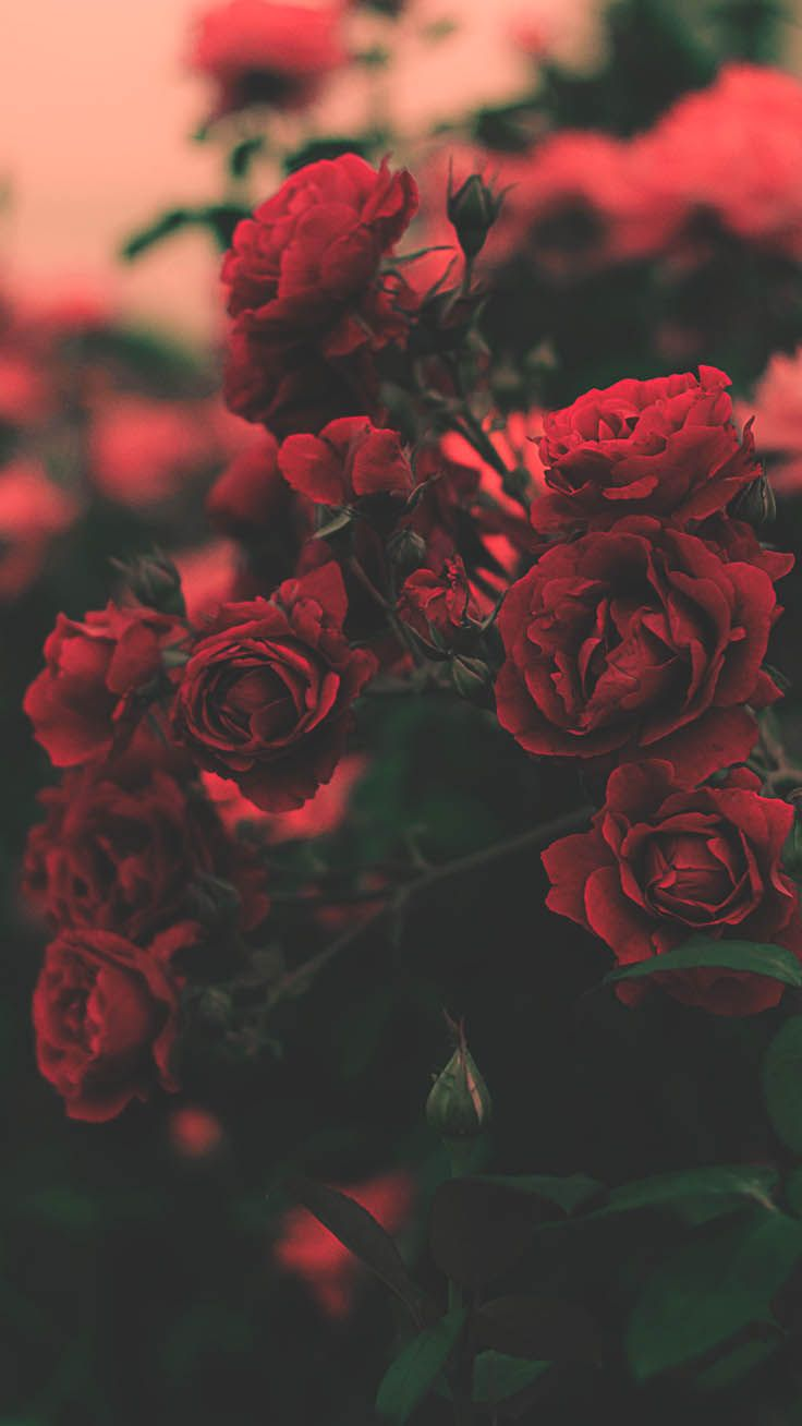 45 Beautiful Roses Wallpaper Backgrounds For iPhon