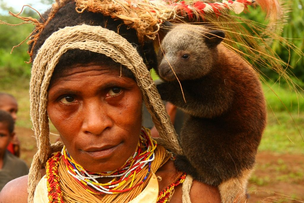 Filebaby tree kangaroo on the chiefs wifes shoulder papua new explore papua new guinea endangered species and more sciox Images