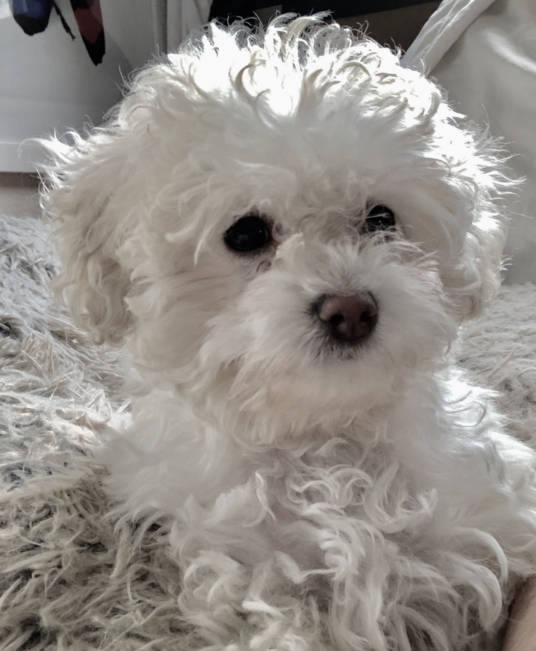 Maltipoo On Her Matching Bed Super Cute Puppies Maltipoo