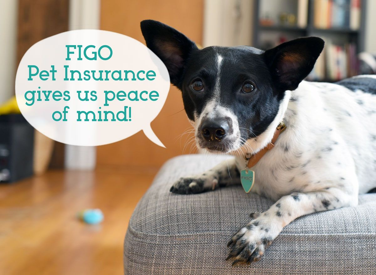 9 Reasons You Should Invest In Figo Pet Insurance Dog