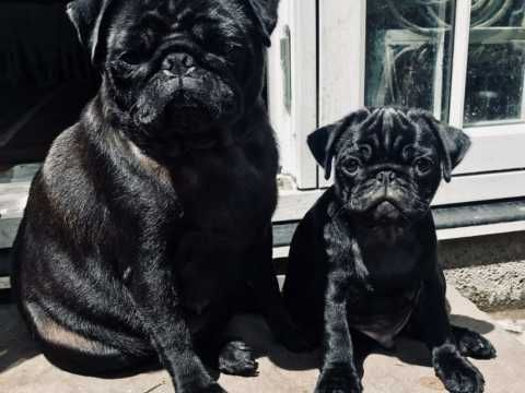 Pin On Home Beautiful Pug Puppies
