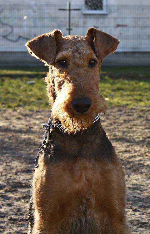 Pin On Airedales Kings And Queens Amongst Dogs