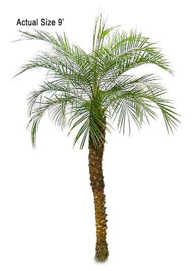 Pygmy Date Palm Phoenix Roebelenii Palm Tree Flowers Palm Trees Canary Island Date Palm