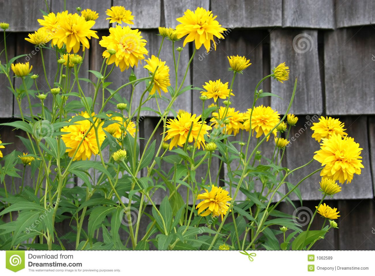 Yellow Flowering Perennials Tall Perennial Against Some Weathered Shingles