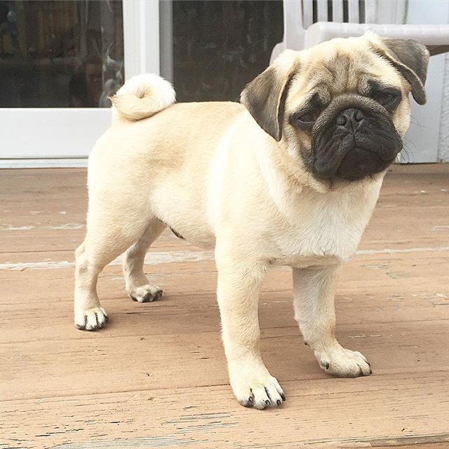 My Face When Someone Asks If I Lost Weight Pugs Pug Puppy