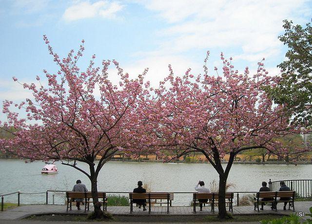 Cherry Blossoms Tokyo Japan Bunga Sakura Pemandangan Osaka