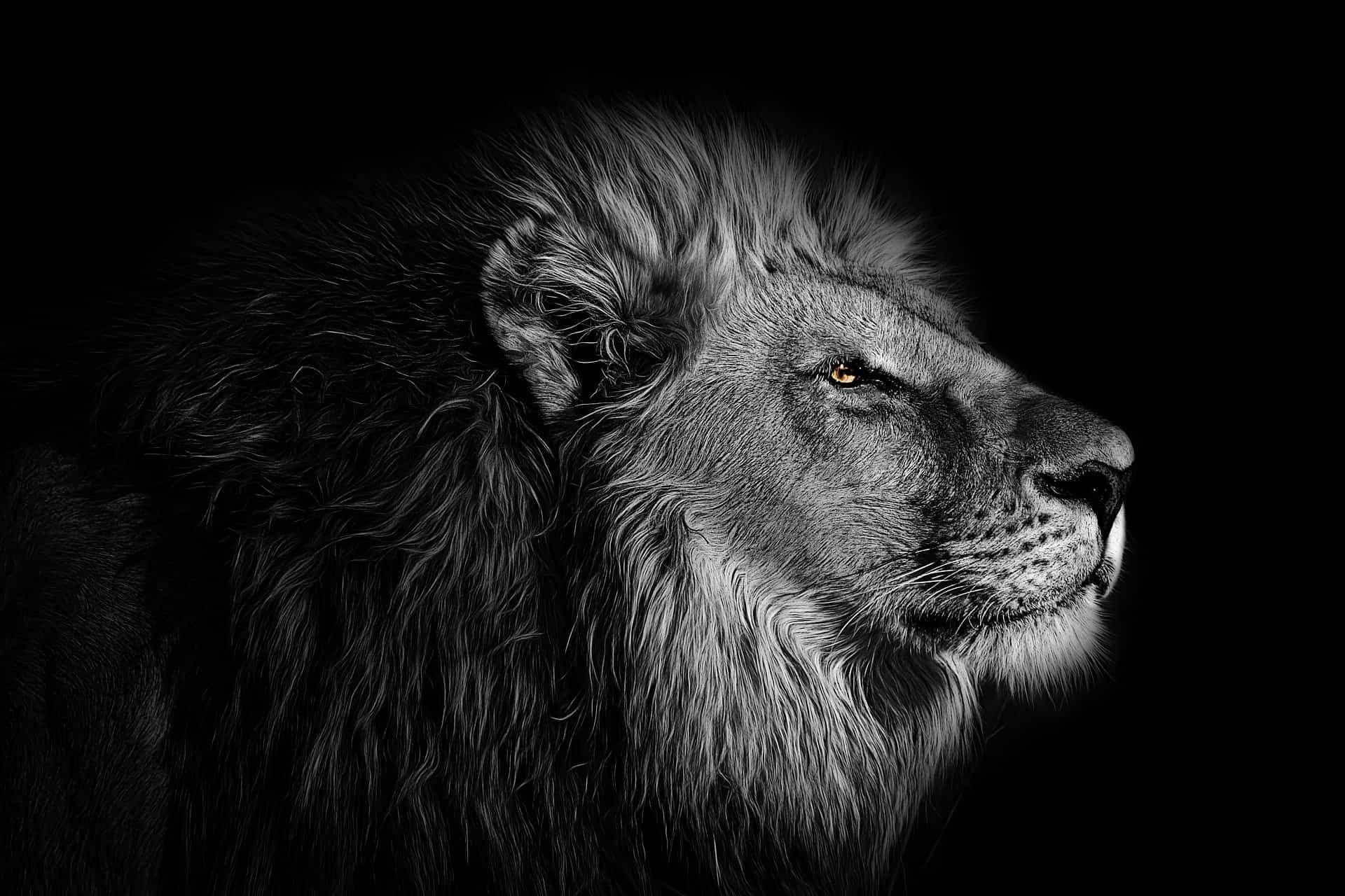 صور اسد ابيض واسود Lion Art Lion Wallpaper Lion