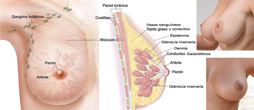 El pecho es más pequeño de las hormonas de hombre