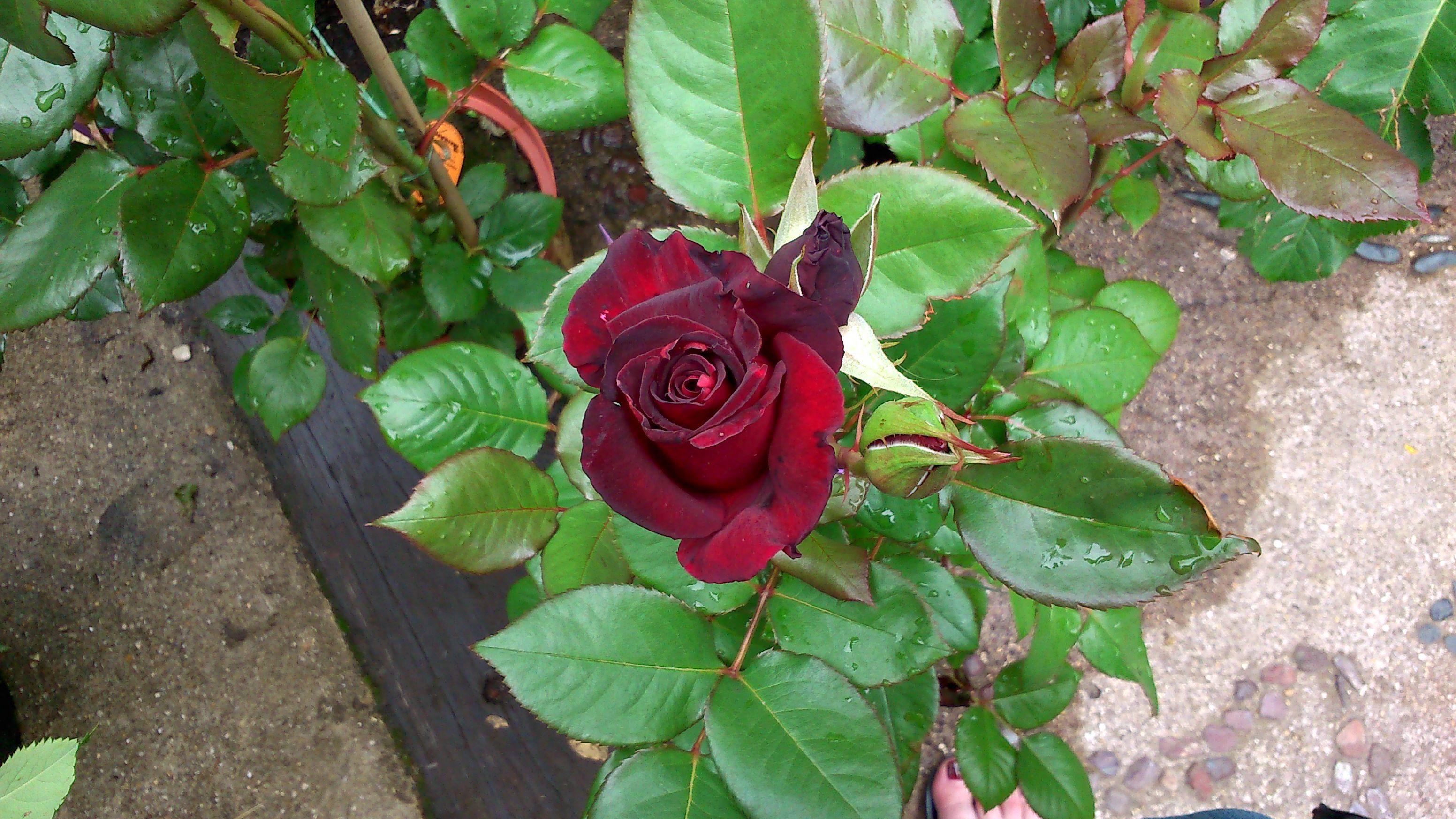 Les roses de la Jardinerie Taffin