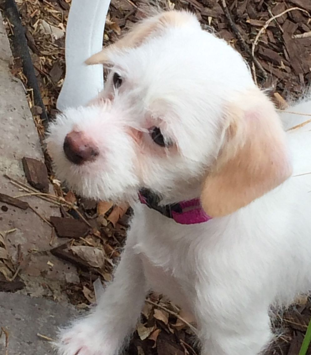 Biscuit Maltese Jack Russell Terrier Mix 3 Months Old Pitbull Puppies Pitbull Terrier Chihuahua Dogs