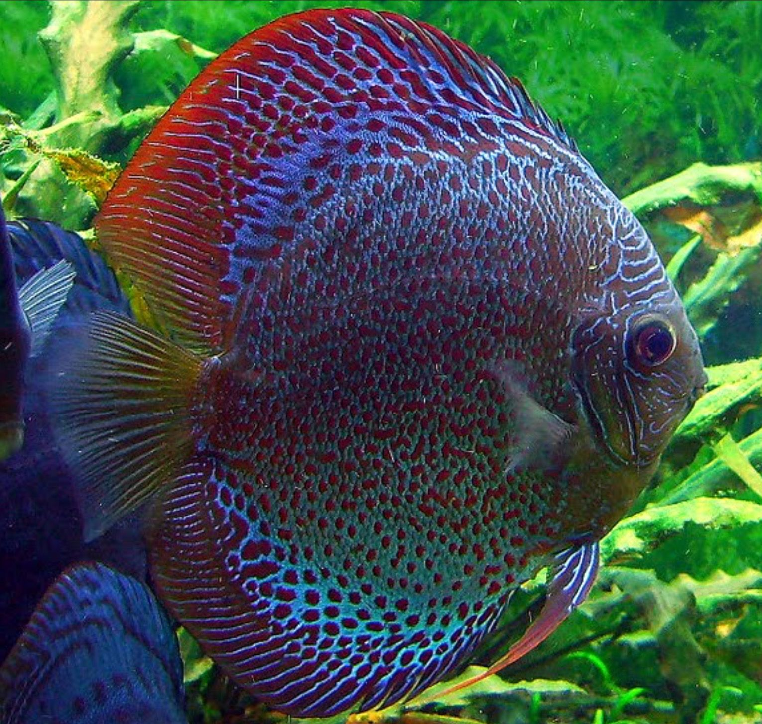 Tropical Fish Pictures Snakeskin Discus Fish  My Tropical Fish