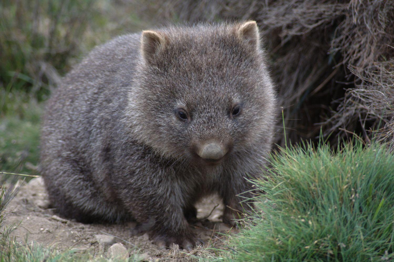 baby wombat - Google Search | Baby wombat, Common wombat ...