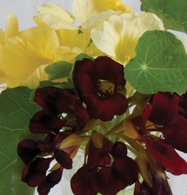 Nasturtium Night and Day Flowers Nasturtiums Pinterest