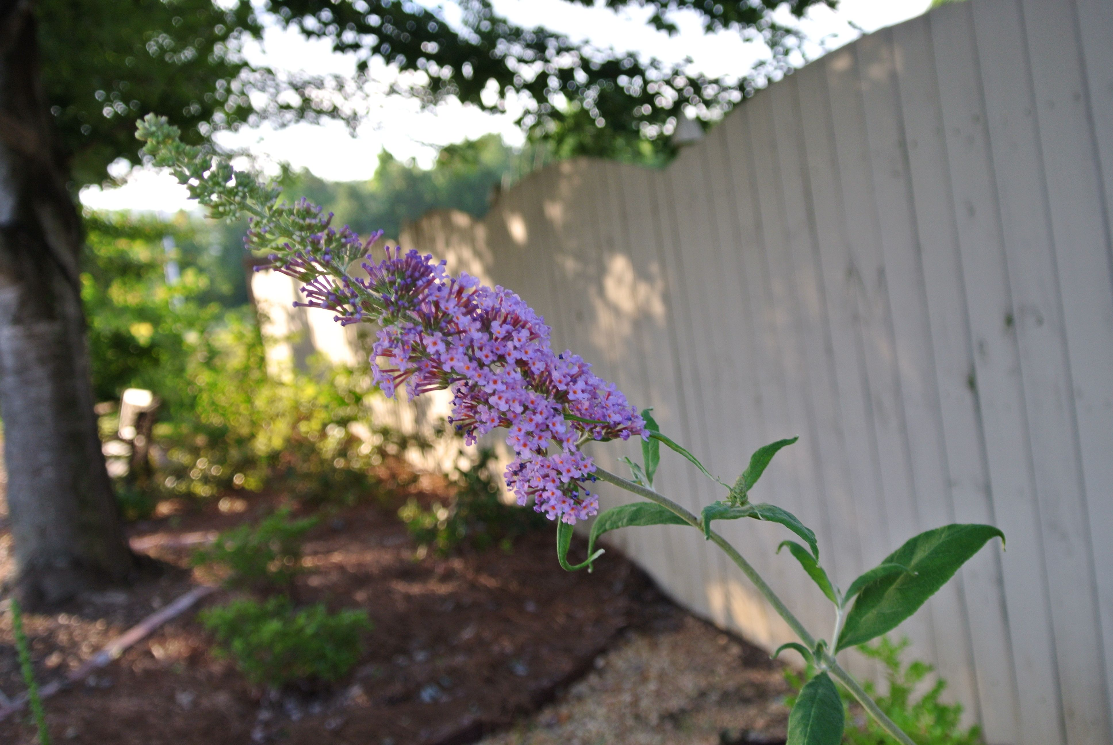 Butterfly Garden Ideas Pictures Photograph Butterfly Bush