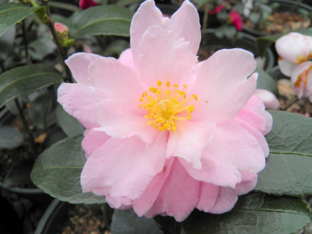 Ashton S Ballet Is A Camellia Hybrid Two Tone Medium Pink Rose Form Double With Average Upright Growth Very Showy Flowers Pretty Flowers Rock Garden Plants