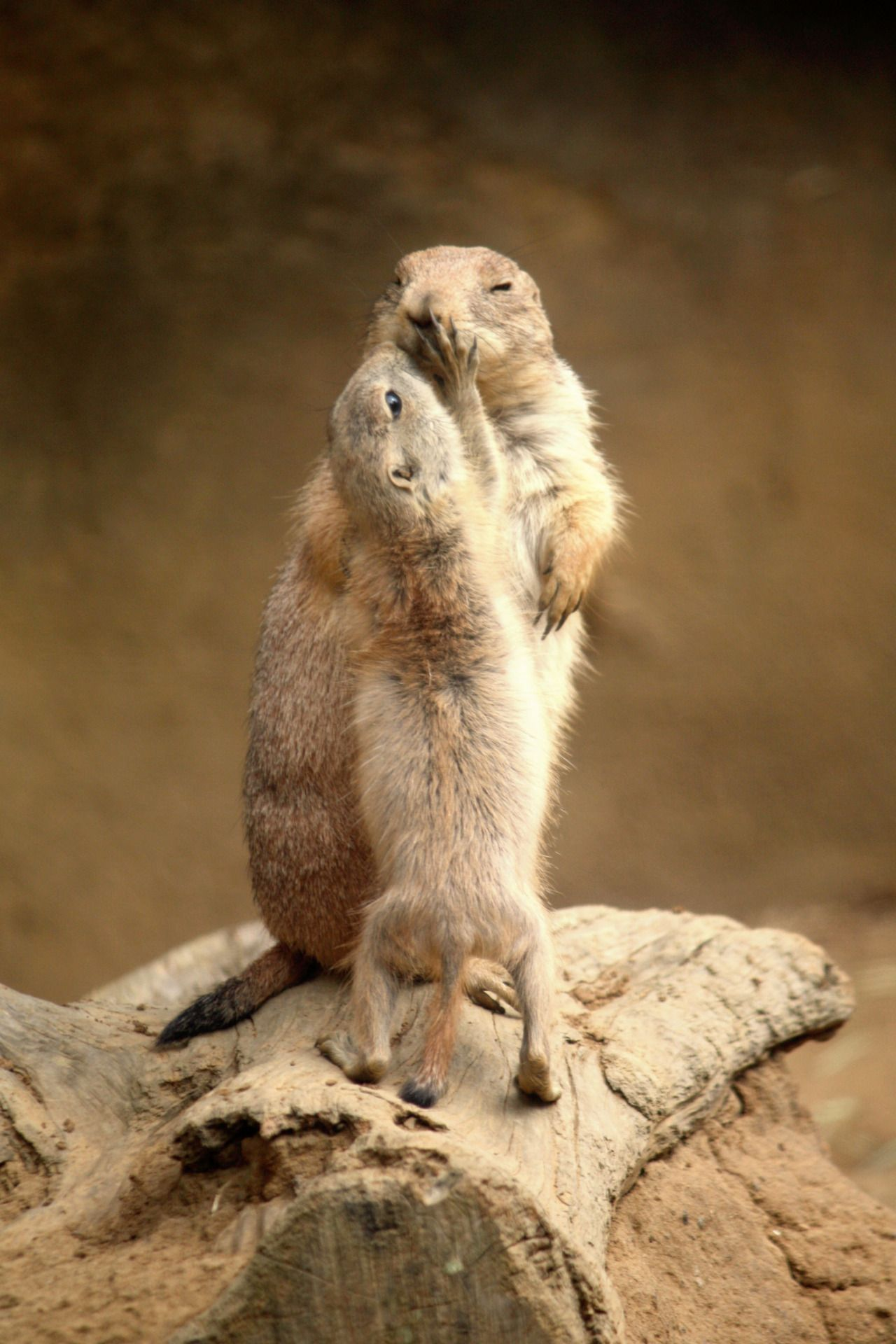 prairie dogs...love is the answer...two legs or four