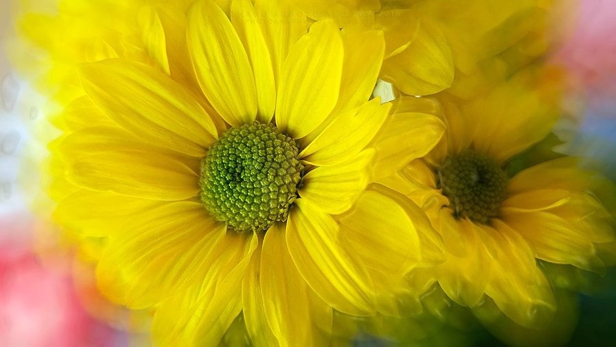YELLOW DAISIES by Charo  Arroyo - Photo 176432529 / 500px