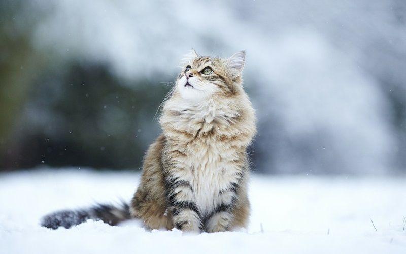 Сибирские кошки (описание, уход). Фото | Норвежская лесная ...