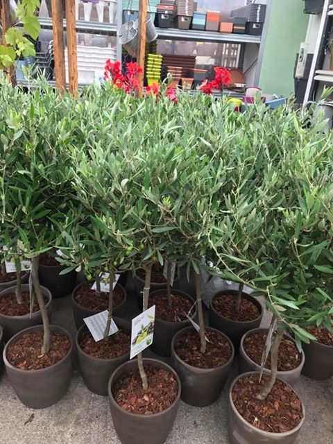 Standard Olive Trees In Clay Pots Urban Plant Life Garden Centre