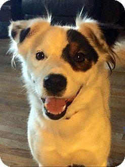 Fowlerville Mi American Eskimo Dog Australian Shepherd Mix