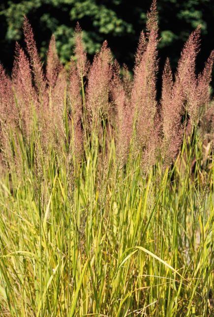Best ornamental grasses for midwest gardens grasses for Pond grass plants