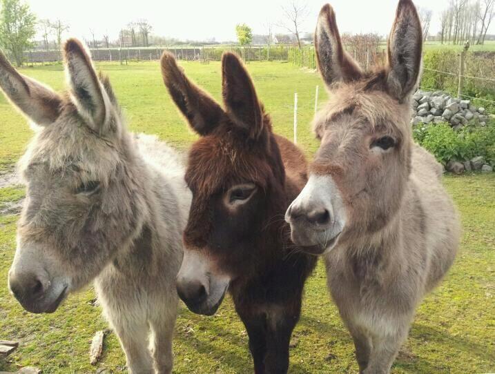 Resultado de imagem para trio de burros