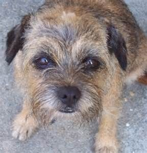The Border terrier is atypical of the other terrier breeds. Naturally bred to run peacefully with foxhounds, they had been bred to get a less dog-aggressive temperament than terriers who hunted mainly on their own.