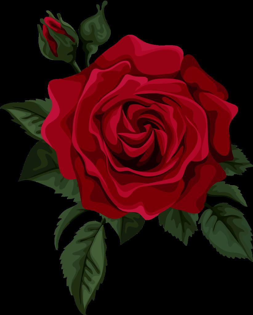 Картинка на белом фоне цветы розы
