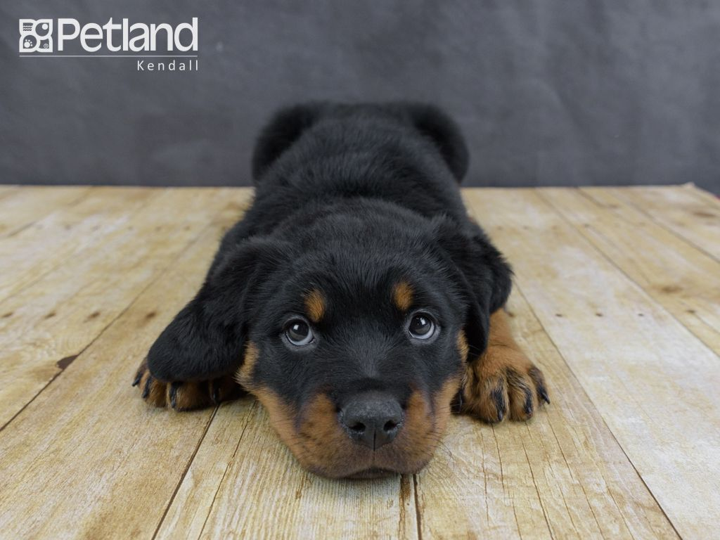 Puppies For Sale Puppies, Cute dogs, Rottweiler