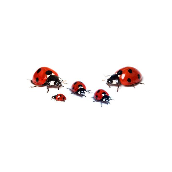 Articles About The Ladybug Life Cycle Liked On Polyvore Featuring