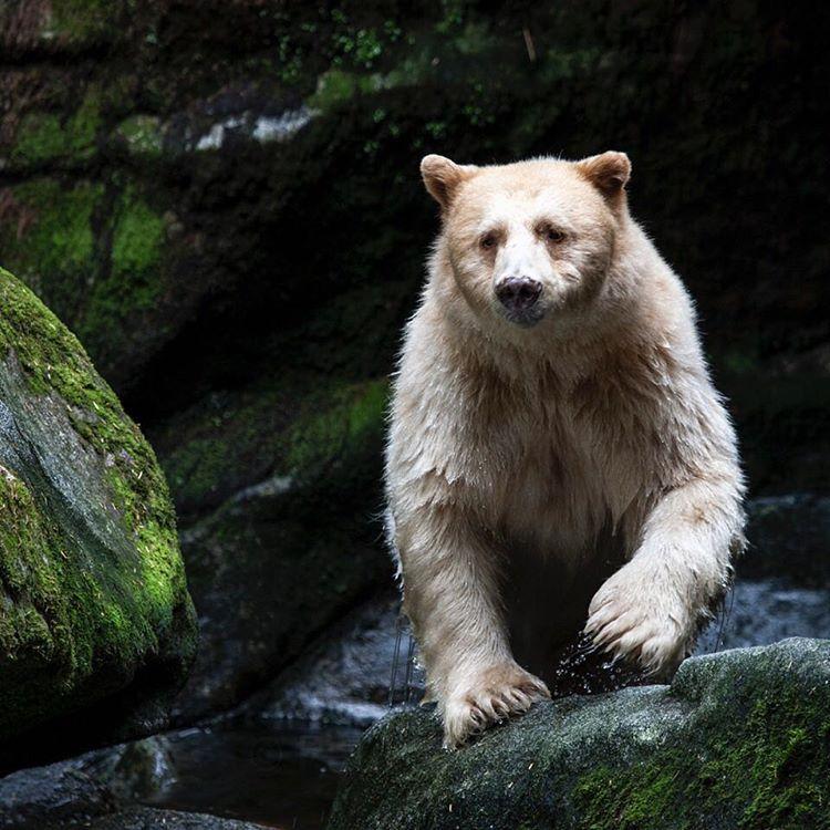 """Photo by @paulnicklen // Spirit Bear in the Great Bear Rainforest // with @sea_legacy @cristinamittermeier @thephotosociety"""