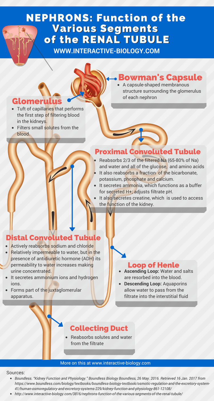 Nephrons Function Of The Various Segments Of The Renal Tubule Via