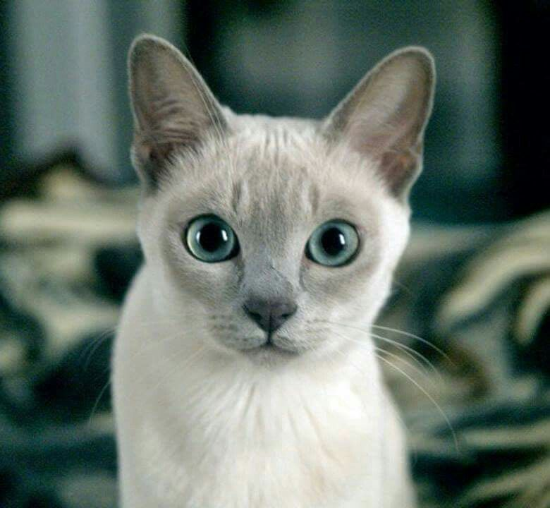 Hi What You Looking At Tonkinese Cat Pretty Cats Cute Cat Breeds