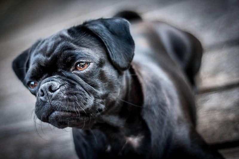 Black Retro Mops Mops Susse Tiere Hunderassen