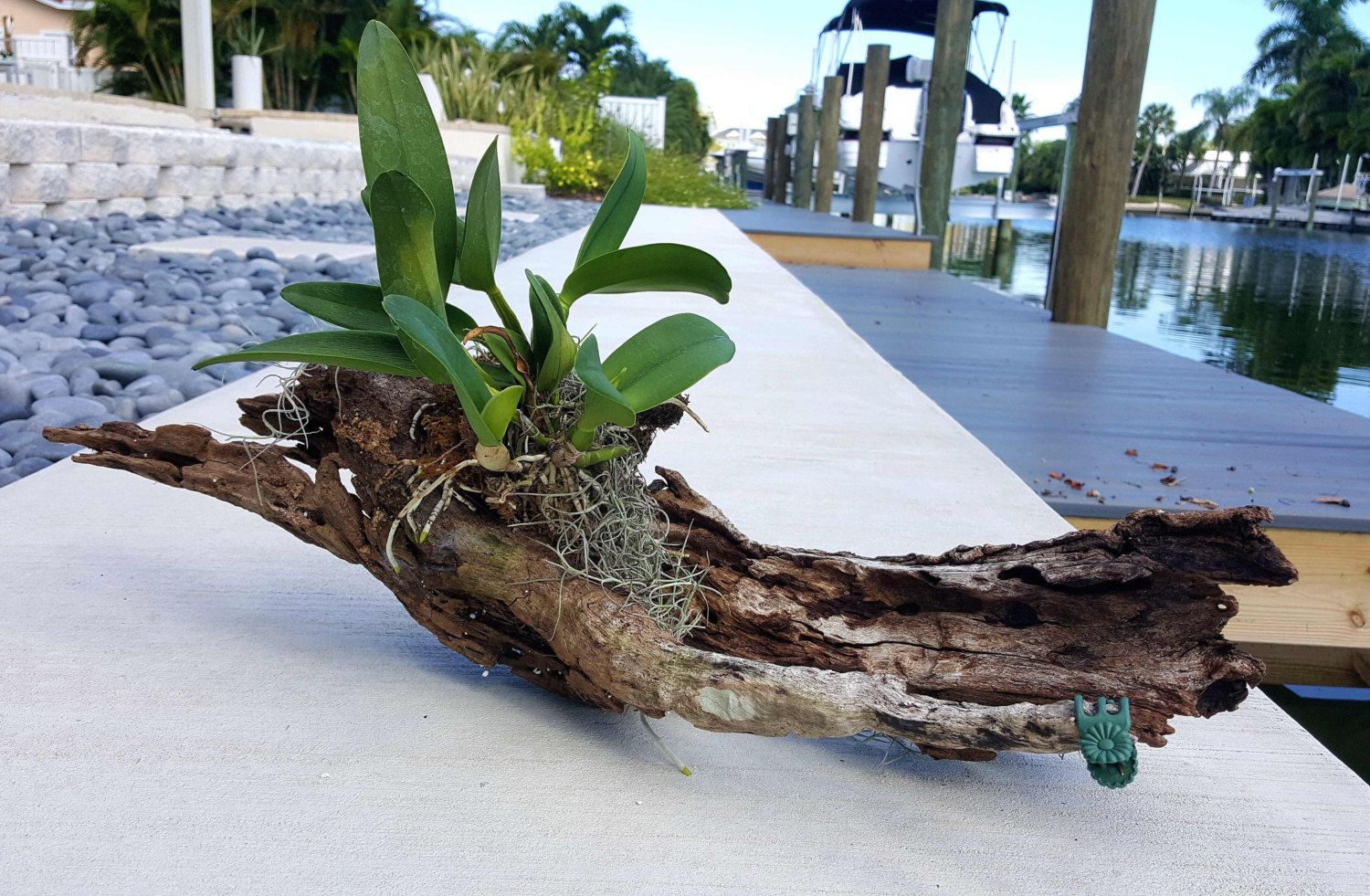 Orchid plant mounted on driftwood plant centerpiece vertical